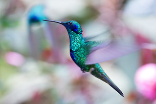 Colibri coruscans │ Sparkling Violetear