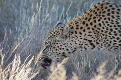 DSC_4293 (Andrew Nakamura) Tags: namibia africa windhoek wildlife animal mammal felidae bigcat leopard africanleopard felid naankuse wildlifesanctuary