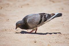 Beach Pigeon (KWPashuk) Tags: nikon d7200 lightroom luminar luminar2018 kwpashuk kevinpashuk tamron tamron18400mm bird pigeon beach outdoors urbanwildlife waikiki hawaii usa sand nature