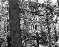 Tree, light and leaf (Hyons Wood) (Jonathan Carr) Tags: ancient woodland black white bw monochrome largeformat tree leaves rural northeast toyo45a 4x5 5x4 landscape