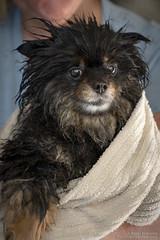 Drowned Rat (BobbyFerkovich) Tags: dog pomeranian roscoe wet bath towel soaked puppy sony a7riii