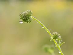 P6300003 (turbok) Tags: blauviolett pflanze wasseranpflanzen wassertropfen wildblumen wildpflanzen c kurt krimberger