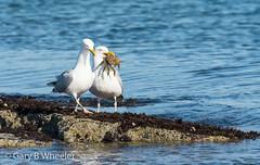 Herring Gulls (Ponty Birder) Tags: g b wheeler pontybirder garywheeler birds gulls gower wales