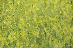 Moments of Clarity (right2roam) Tags: yellow clover melilotusofficinalis flower prairie nebraska nealewoods right2roam bokeh sweet hazy green spring summer wildflower