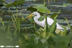 Catfish For Dinner (freshairphoto) Tags: wading great egret arrowhead american lotus leaves catfish lake green white wildwood park harrisburg pa artspearing nikon d500 200500 zoom handheld