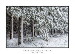 Evergreens covered in fresh snow fall (sugarbellaleah) Tags: evergreen snow pinetree trees pineneedles snowfall white draped forest landscape pretty beautiful flora nature winter season woods snowing cold chilly freezing wonderland australia icing frosted frost scenery travel tourism place oberon