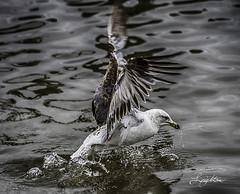 Gull taking off (jsleighton) Tags: gull bird hudson river fly wings water newburgh waterfront