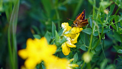 Skipper, Miller Creek - Duluth MN, 06/29/18 (TonyM1956) Tags: elements millercreek duluth minnesota stlouiscounty nature tonymitchell skipper sonyalphadslr