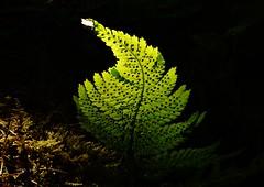 Late Sunlight..x (Lisa@Lethen) Tags: plant life light sun black background nature wild fern