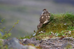 Rock Ptarmigan (Desireevo) Tags: iceland ice ijsland ijs island islands landscape landschaft landscapes rock rocks rockptarmigan ptarmigan birds bird animal animals nature outdoors desireevanoeffelt holiday summer hiking hike kristinartindar skaftafell skaftafellsjokull mountain mountains wild wildlife