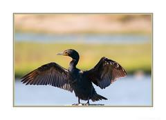 I'm So Fine! (JohnKuriyan) Tags: paloaltobaylands california doublecrested cormorant