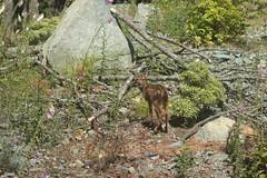 Fawn (RF Jurjevics) Tags: fawn deer babydeer saltspringisland victoriabc canada