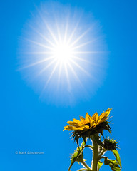 Here Comes The Sun (Mark Lindstrom) Tags: heatwave sunny hot heat summer sun sunshine blue sunflower buesky sky yellow hotweather canon5dmkiii canon1635f4 marklindstrom outdoor peaceful relaxing healthy
