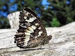 Butterfly 1704 (+1300000 views!) Tags: butterfly borboleta farfalla mariposa papillon schmetterling فراشة