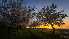 Sunrise in the park (MarioCibulka) Tags: sunrise park morning tree flower pink nature blossom sun peaceful colorful scenic cherry grass beauty shadows outdoors beautiful spring bright calm view warm restful light sunlight shine april scene