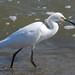 Kemah - Snowy Egret
