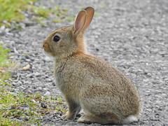 European Rabbit (Oryctolagus cuniculus) (Brian Carruthers-Dublin-Eire) Tags: rabbit animalia chordata mammalia lagomorpha leporidae oryctolagus ocuniculus cuniculus animal nature wildlife oryctolaguscuniculus