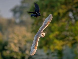 DSC5454  Barn Owl..