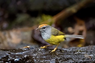 Broad-billed Warbler (Tickellia hodgsoni) 宽嘴鹟莺 kuān zuǐ wēng yīng