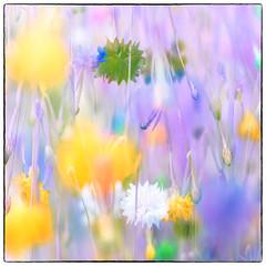 After (Krogen) Tags: norge norway norwegen akershus romerike ullensaker jessheim krogen blomster flowers mitakonspeedmaster f095 panasoniclumixgx7 tvisyn