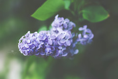 Syringa vulgaris (rockinmonique) Tags: lilac flower bloom blossom petal leaf macor green purple bokeh moniquewphotography canon canont6s tamron tamron45mm copyright2018moniquewphotography