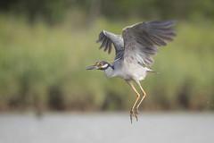 Night Flyer (gseloff) Tags: yellowcrownednightheron bird flight bif nature wildlife animal water bayou horsepenbayou pasadena texas kayak gseloff