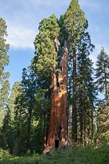 Hercules Tree (fzx_is_phun) Tags: canon canon7d canonphotography outdoorphotography nature trees sequoia redwood