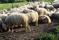 SARDINIAN CHEESE EXPERIENCE (Sardinia SlowExperience) Tags: cheesemaking sardinia pastore formaggio pecore becomeashepherd sardynia wycieczki sery pasterz owce sheep
