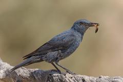 Roquero solitario (Sento74) Tags: roquerosolitario monticolasolitarius aves birds fauna nikond500 tamron150600g2