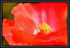 """Poppy Love..."" (NikonShutterBug1) Tags: macro closeup nikond7100 tokina100mm spe smartphotoeditor flower nature flora 100flowers2018 poppy 7dwf"