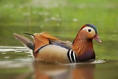 Mandarin duck (PhotoLoonie) Tags: duck mandarinduck waterbird bird wildlife nature aixgalericulata perchingduck colours colourful feathers