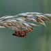 Rhangonycha fulva (I think) (jonncrisp) Tags: insect bug beetle wales pembrokeshire