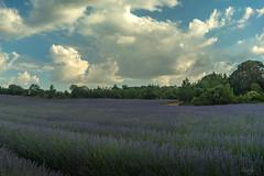 FLORACION DE LA LAVANDA (Merly_gon) Tags: lavanda lavander brihuega madrid españa spain campos de floracion bloom hierba plantas cielo sky skyline azul verde green blue clouds nubes