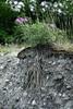 Under The Surface (NVenot) Tags: petroglyphisland tatshenshini alsek river rivers plant plants flower flowers leaves erosion rocks dirts fuji fujinon fujifilm 35mm 35mmf2 fireweed soil rock