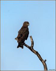 Brown-Snake-Eagle__AM03841 (SueM59) Tags: birds brownsnakeeagle knp may2018 raptors