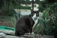 Chats de rue (Sendra urion photographie) Tags: nikon nikond3300 nikonfrance nikoneurope nikontop photographe photography chats cats rue animal animaux de compagnie cute mignon photographie chat cat