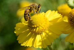 (simon.stoelben) Tags: helenium heleniumhybride heleniumhybrids sonnenbraut sunflower flowers flower pflanzen plants yellow gelb bienen bees insekten insects animals animalia tierwelt makro macro wildlife sneezeweed cultivated