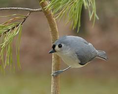 Tufted Titmouse_13Mar2018 (Bob Vuxinic) Tags: birds tuftedtitmouse baeolophusbicolor cumberlandplateau crossvilletn pinetree 13mar2018