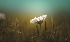 Daisy | Colorplan (Dhina A) Tags: sony a7rii ilce7rm2 a7r2 leitz colorplan 90mm f25 leitzcolorplan90mmf25 silver projector projection lens bokeh daisy spring flower nature grass blossom field lawn bloom herb lush botany flora whiteflower