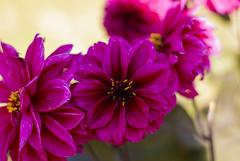 Dahlia miniature flower (Rohit Tulsiyan) Tags: dahlia miniature flower purple colour close shot lalbagh bangalore