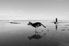 Michelle throws stick for Tess (imajane) Tags: 2018 janemonaghan michelleandtess newplymouth newzealand pridejoyphotography beach 20180323 michelle tess fitzroy beach6734 bw