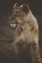"""""""The Lioness is not submissive. She merely lets you be King as long as it pleases her."""" (MudMapImages) Tags: lioness zoo conservation endangered zoophotography"""