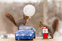 red squirrels with a car, balloon  and a gas station (Geert Weggen) Tags: animal arrangement britishroyalty celebration celebrationevent ceremony domesticanimals editorial event happiness holidayevent joy lifeevents outdoors parade photography princeroyalperson princeregiment royalty smiling traditionalceremony uk uniform wedding weddingceremony harry meghan princess squirrel redsquirrel marry word text open mouth dress happy fun party postcard birthday car drive vehicle balloon yes willyoumarryme gasstation fillingstation fueling servicestation petrol station diesel proposal bispgården jämtland sweden ragunda geert weggen