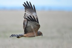 Spotted Harrier_9377 (Circus assimilis) (Neil H Mansfield) Tags: circusassimilis raptor harrier nature native spotted spottedharrier