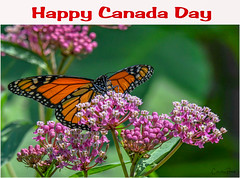 Happy Canada Day!!! (Summerside90) Tags: happycanadaday july1 celebration monarch backyard garden nature wildlife ontario canada