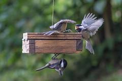 Feeder Squabble (Dave In Oregon) Tags: blackcappedchickadee bird nature suetfeeder feeder birdfeeder oregon rainieroregon poecileatricapilla