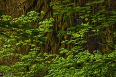 Olympic National Park (nebulous 1) Tags: hohrainforest olympicnp chaos fauna forest plants trees bark nikon nebulous1 glene