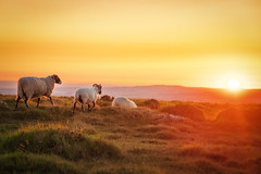 Flock to the Sunset (Rich Walker75) Tags: sheep dartmoor devon landscape landscapephotography canon england efs1585mmisusm eos80d eos nature animals sunset sky