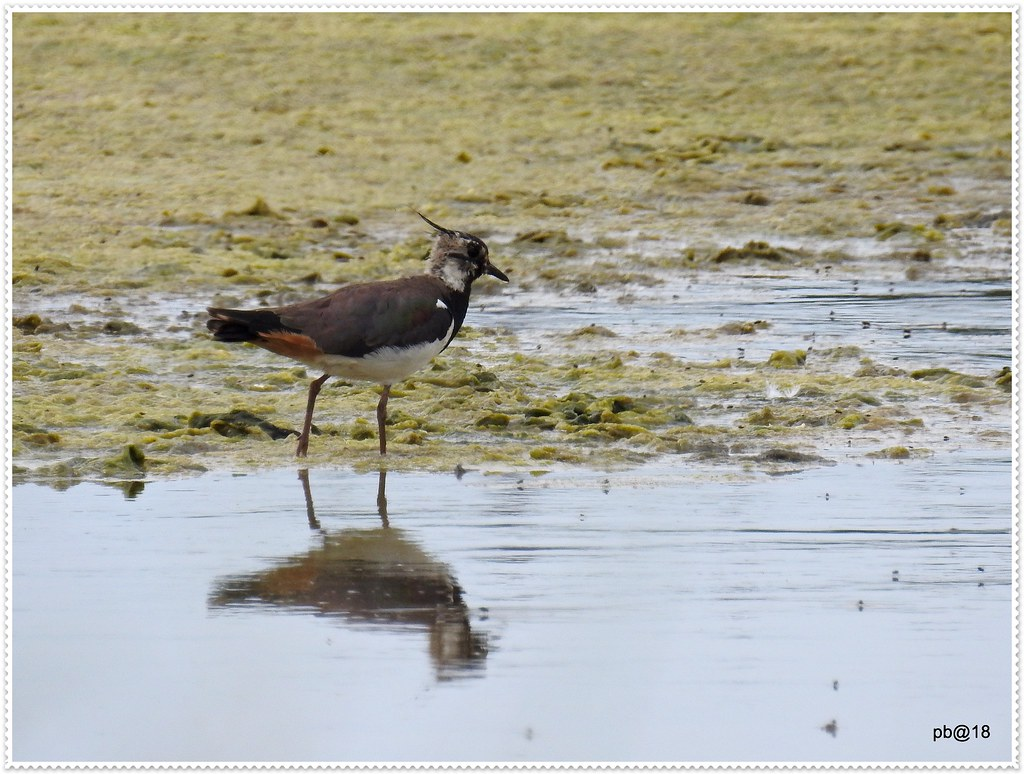 On reflection, a Lapwing.
