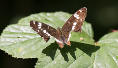 White Admiral Butterfly, (Limenitis camilla) (The Rustic Frog) Tags: limenitis camilla white admiral butterfly uk england warwickshire midlands central west canon camera lens macro brown insect clipped damaged wings shadow leaf